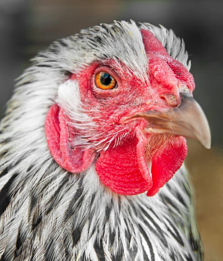 kurczaka głowa zasznurowywający srebny wyandotte fotografia stock