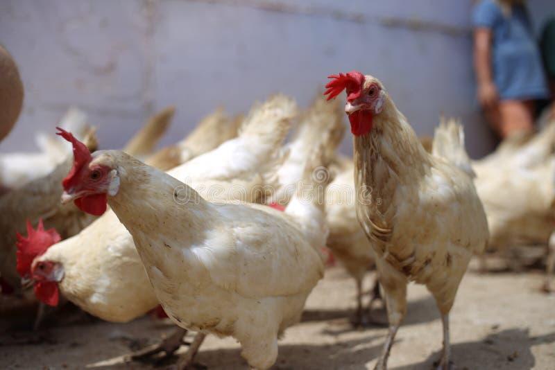 Kurczaka gospodarstwa rolnego grzebienia przegrzebek przeznacza obrazy royalty free
