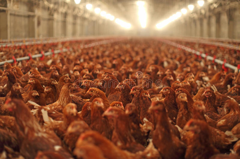 Kurczaka gospodarstwo rolne, drób zdjęcia stock
