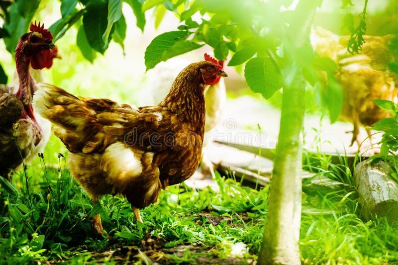 kurczaka gospodarstwo rolne obrazy stock