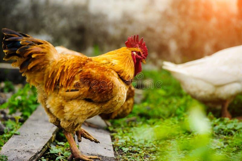 kurczaka gospodarstwo rolne obrazy royalty free
