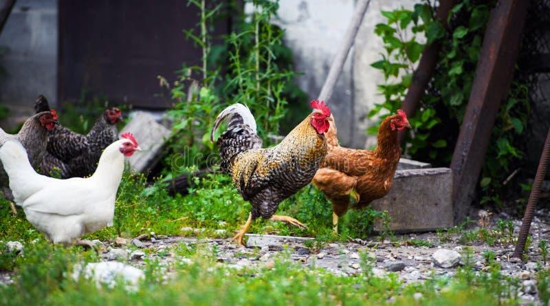 kurczaka gospodarstwo rolne fotografia royalty free