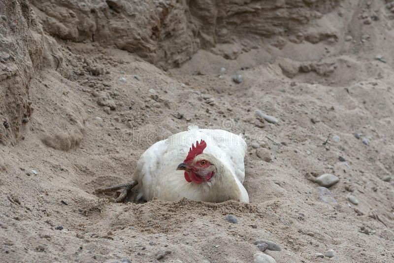 Kurczaka piaska kąpanie obraz royalty free