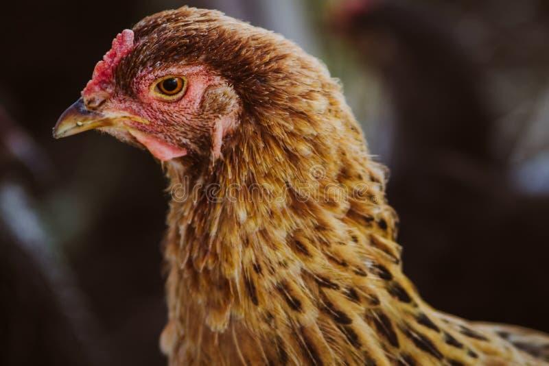kurczaka portret obraz stock