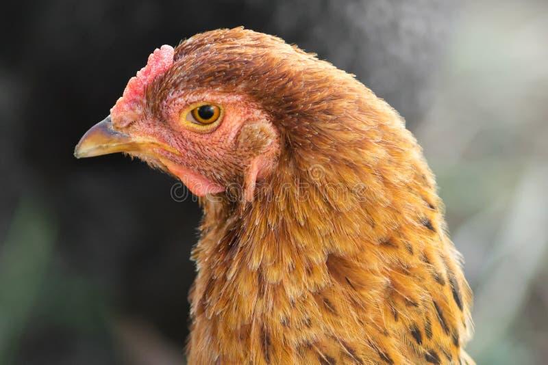 kurczaka portret obrazy royalty free