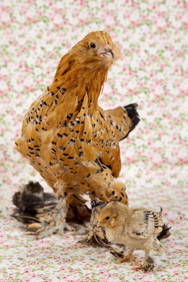 kurczaka purebred zdjęcia royalty free