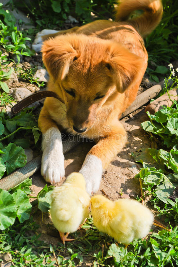 kurczaka szczeniak fotografia royalty free