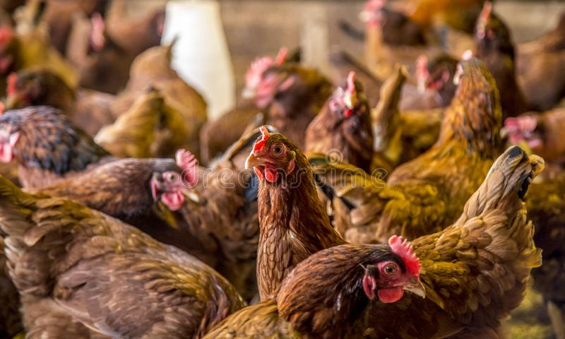 Kurczaka tworzenia zwierzęta gospodarskie fotografia stock