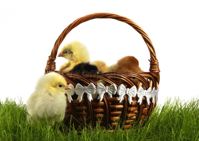 kurczaki obraz royalty free