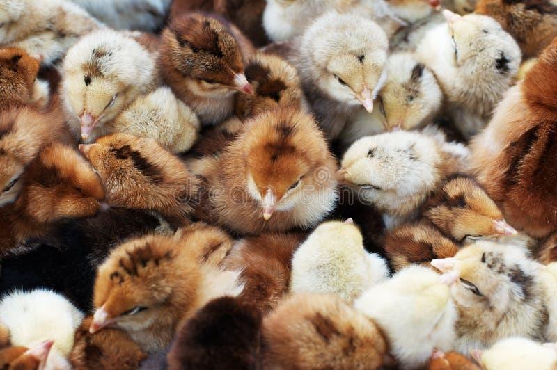 kurczaki coloured dużo nowonarodzony zdjęcia royalty free