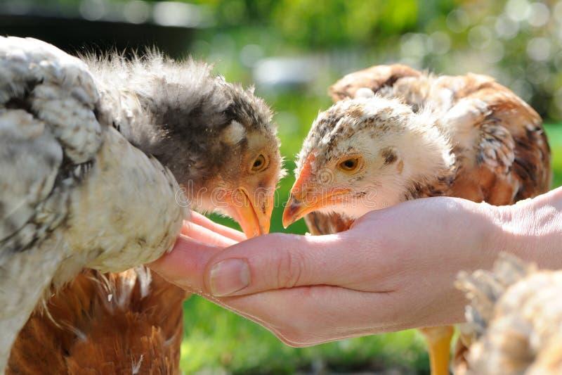 Kurczaki Je od ręki obrazy royalty free
