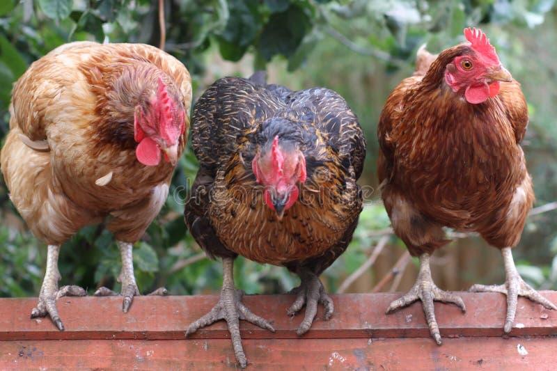 kurczaki trzy obrazy royalty free