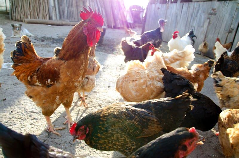 kurczaki uwalniają pasmo zdjęcia royalty free