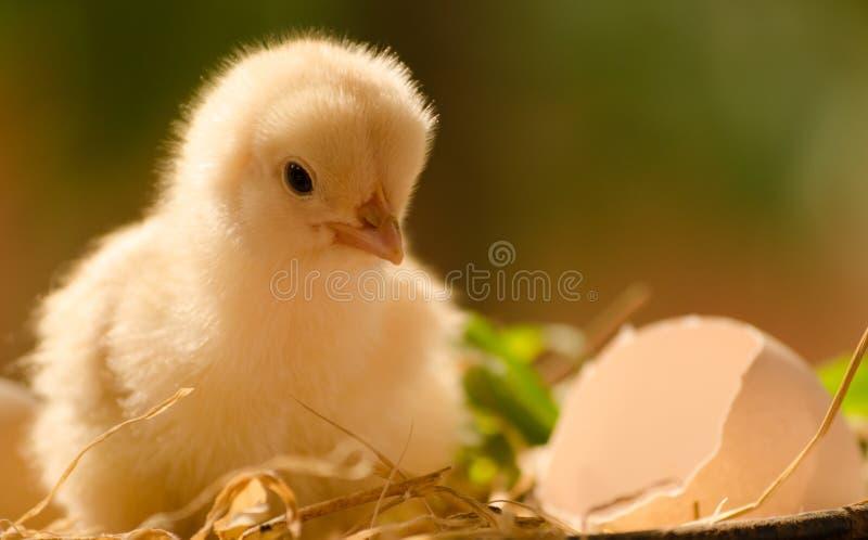 Kurczaki właśnie przychodzili z jajka obraz royalty free