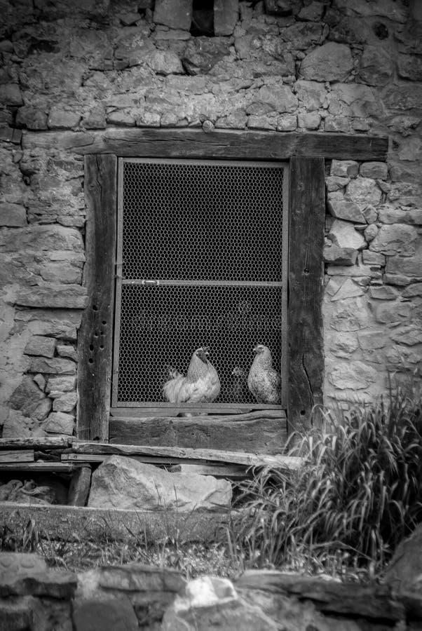 Kurczaki w hutch obraz royalty free