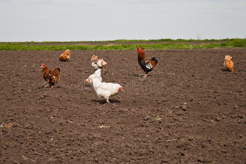 Kurczaki w kuchennym ogródzie zdjęcia stock