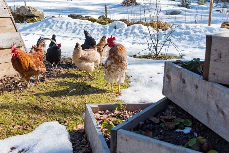 Kurczaki za odprowadzeniu w ogródzie z gras i śniegiem obrazy royalty free
