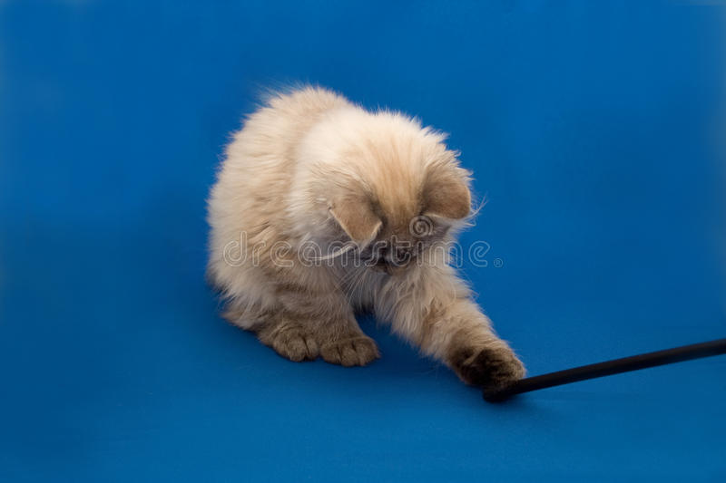 Kurilian bobtail stock photos