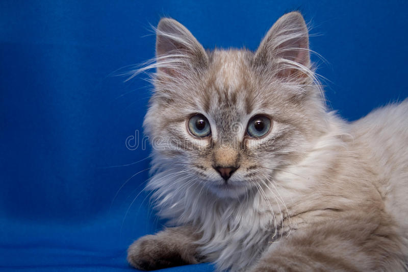 Kurilian bobtail royalty free stock photos