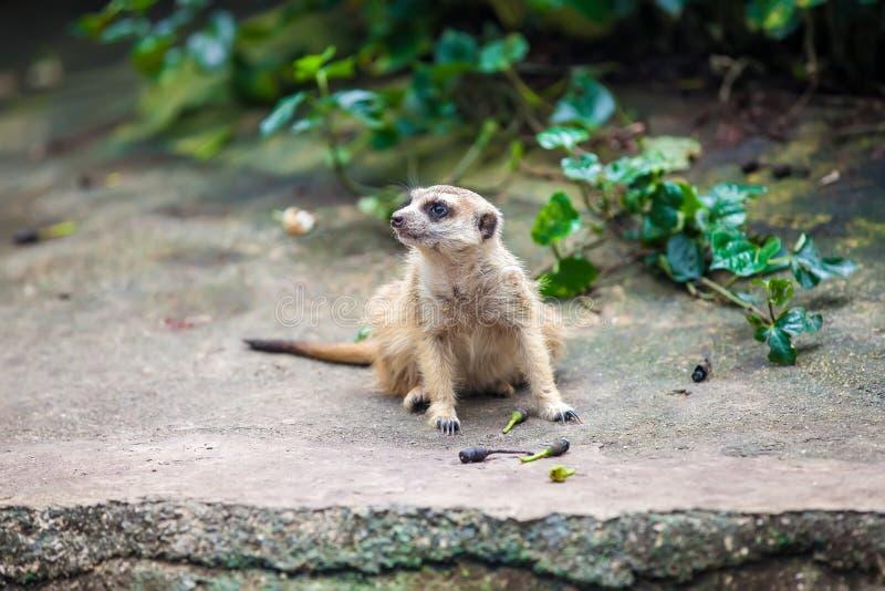 Kuriositäten meerkat suricate, das auf dem Stein sitzt stockfotografie
