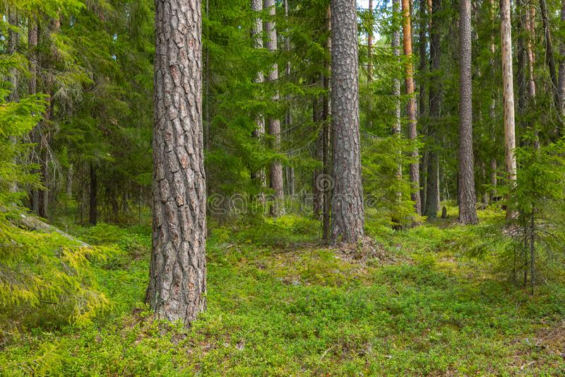 Kurjenrahka National Park. Nature trail. Green forest at summer time. Turku, Finland. Nordic natural landscape. Scandinavian. National park royalty free stock image