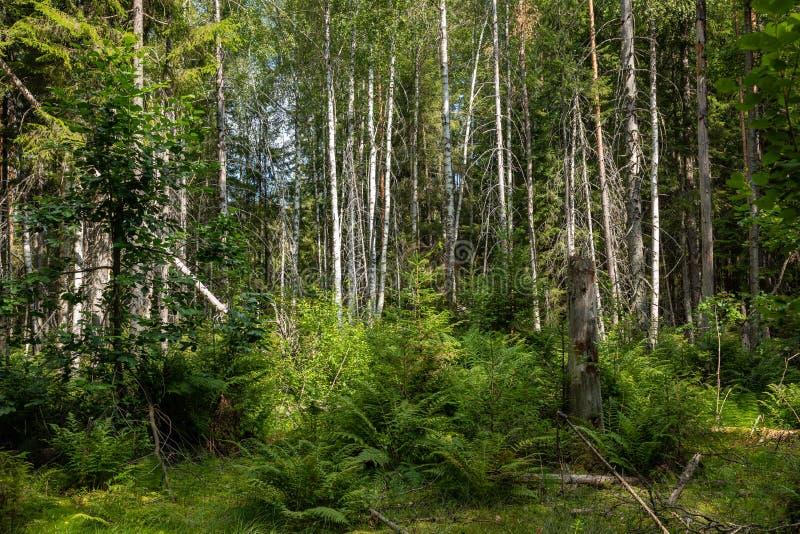 Kurjenrahka National Park. Nature trail. Green forest at summer time. Turku, Finland. Nordic natural landscape. Scandinavian. National park stock photos