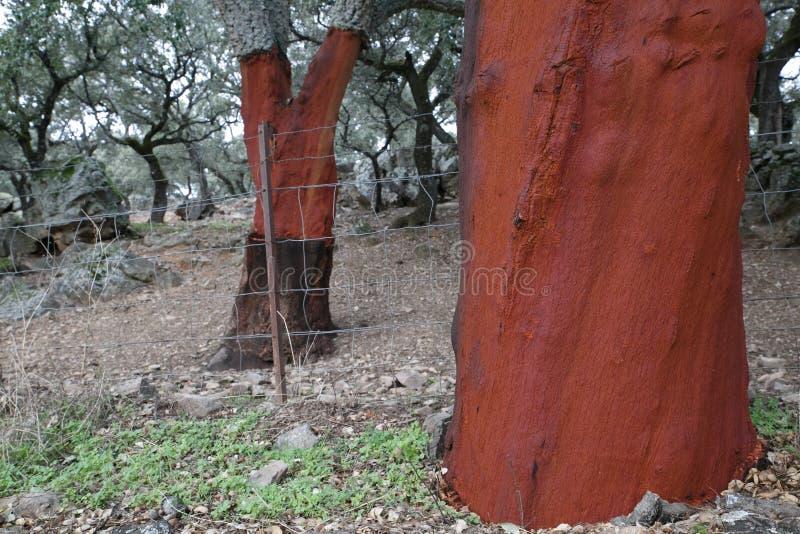 Kurkt eik zonder cork Cork eiken bosje royalty-vrije stock foto's
