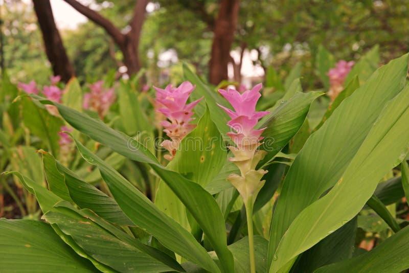 Kurkuma alismatifolia, Siam-Tulpe oder Sommertulpe stockbilder