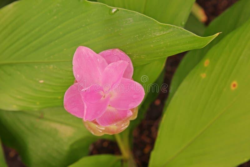 Kurkuma alismatifolia, Siam-Tulpe oder Sommertulpe lizenzfreies stockfoto