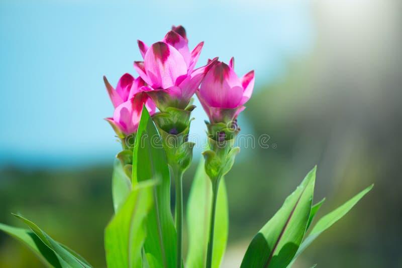 Kurkumaanlage, die draußen blüht Blumen der wachsenden Gelbwurzanlage Siam-Tulpe, Alismatifolia stockfotos