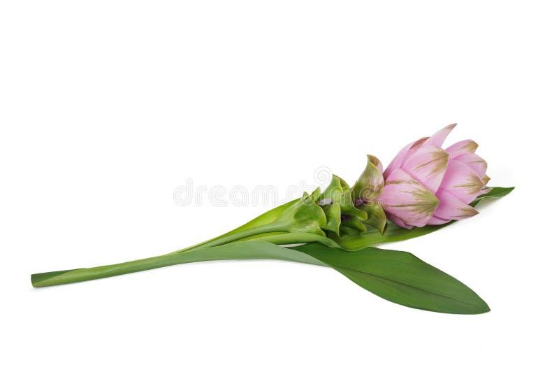 Kurkumaanlage mit Blume lizenzfreies stockfoto