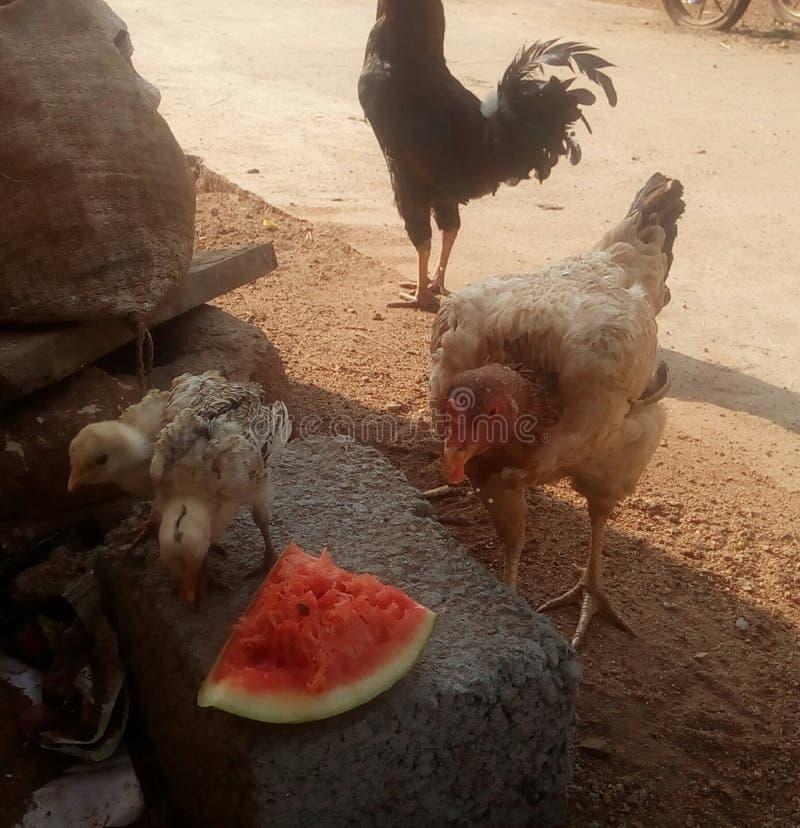 Kurny łasowanie wody melon obrazy royalty free