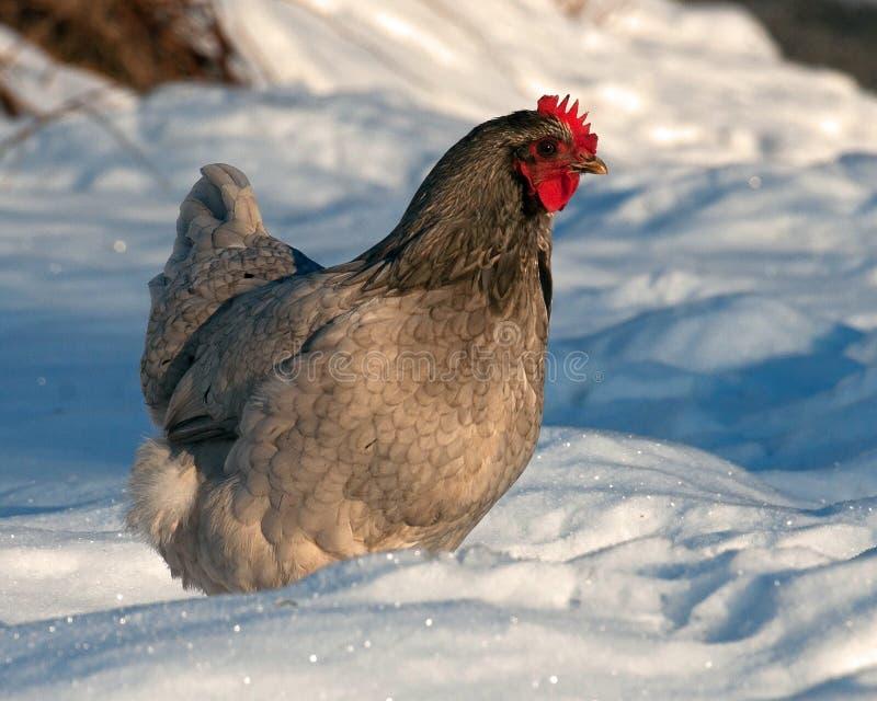 Kurny spacer na śniegu w mroźnym krajobrazie fotografia royalty free