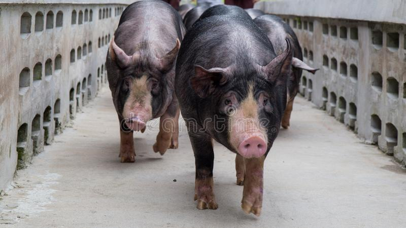 Kurobuta Pig - swine farming business in relax time stock photography