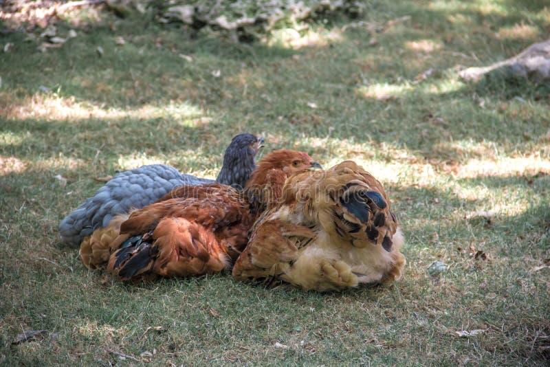 Kuropatwa sen na trawie fotografia stock