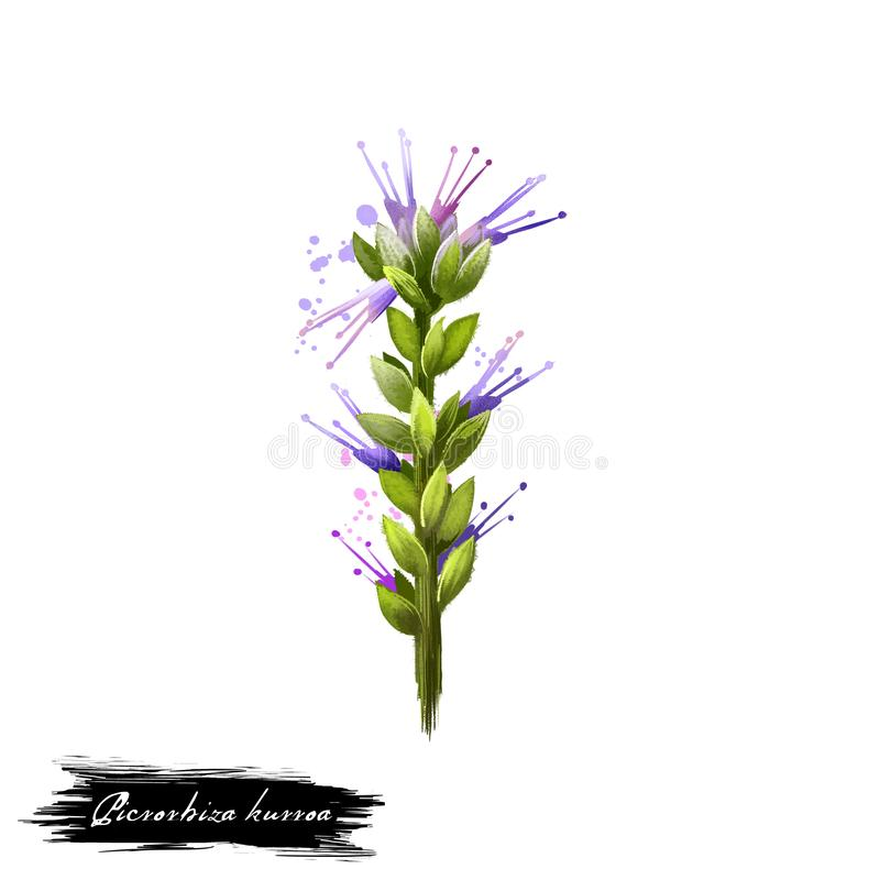 Kurroa Kutki - Picrorhiza ayurvedic Kraut, Blume digitale Kunstillustration mit dem Text lokalisiert auf Weiß Gesunde organische  vektor abbildung