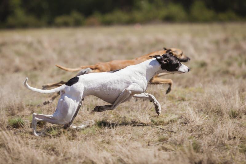 Kursieren des Trainings Whippet-Hund, der auf dem Feld läuft stockfoto