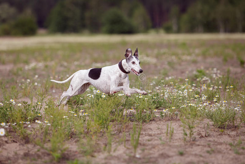 kursieren Whippethund, der in das Feld läuft stockbilder