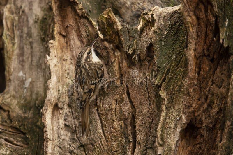 Kurze ausgewichene Baumkriechpflanze, Certhia brachydactyla lizenzfreie stockbilder