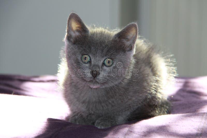 Kurze har Katze am Fenster lizenzfreies stockbild