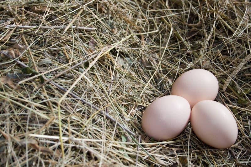 kurze jajo zdjęcia stock