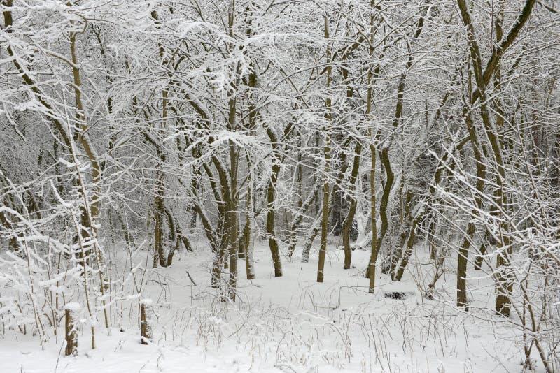 Kurze, schneebedeckte Bäume im Wald lizenzfreie stockfotos