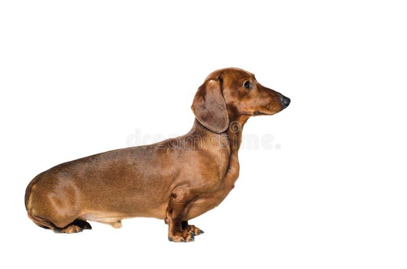 Kurzer roter Dachshund-Hund, Jagdhund, lokalisiert über weißem Hintergrund lizenzfreie stockbilder