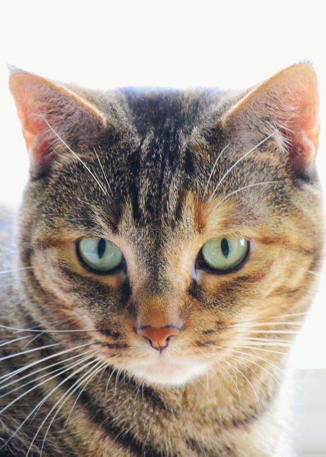 Kurzes Haar Tabby Cat mit grünen Augen lizenzfreie stockfotos