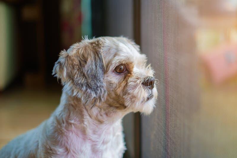 Kurzes Haar weißer shih-Tzu Hund stockbilder