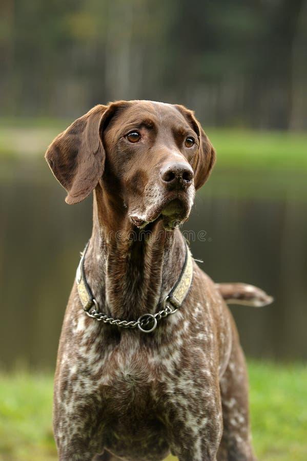 Kurzhaar-Hund lizenzfreie stockbilder