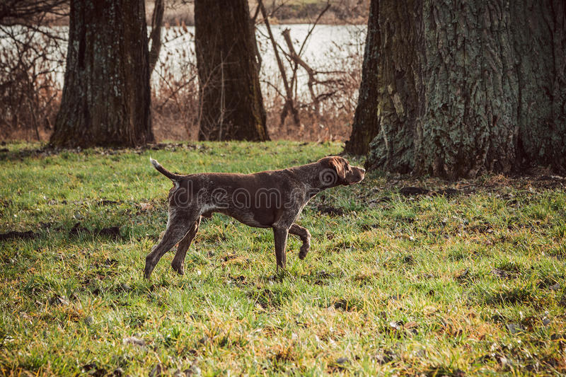 Kurzhaar - Hunter dog. German shorthaired pointer - Hunter dog stock photo