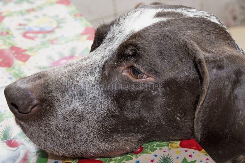 Kurzhaar hunting dog. A light brown color macro stock photos