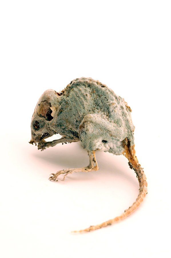kuslig död mus arkivfoto