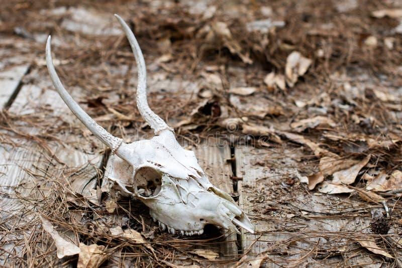 Kuslig djur skalle med murkna stupade sidor arkivfoto